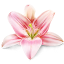lily, flower, plant icon